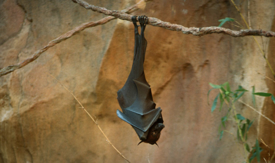 Bat at Disney's Animal Kingdom