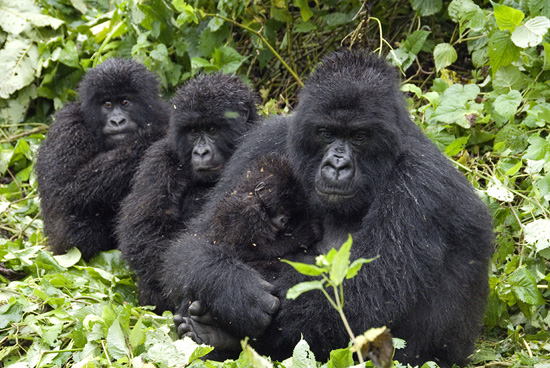 Together with Conservation International, Disney's investments will help protect forests in the Congo Basin to reduce carbon emissions and benefit habitat for a wide-variety of species including the endangered gorilla.