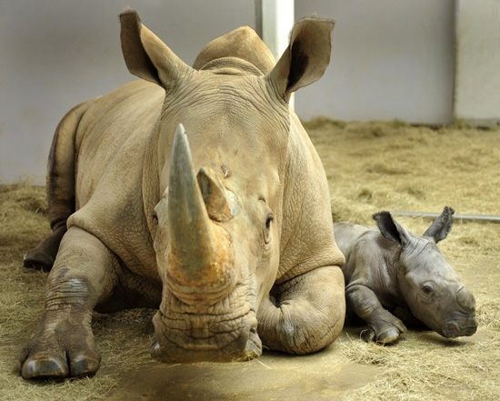 Baby White Rhino at Disney's Animal Kingdom