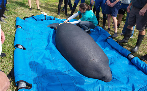 Seas Team Releases Manatee Back to the Wild