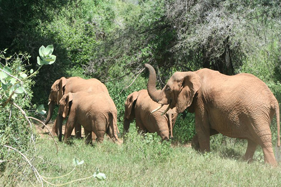 Elephants at Disney's Animal Kingdom