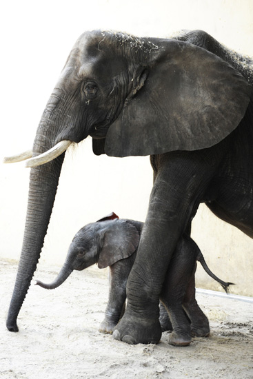 New Baby Elephant Arrives at Disney's Animal Kingdom