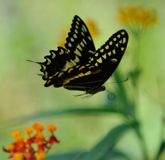 Butterflies Take Graceful Flight in Natural Habitat at Disney