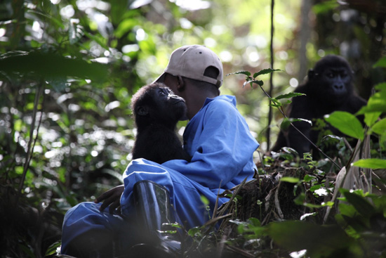 Building a Home for Orphaned Gorillas