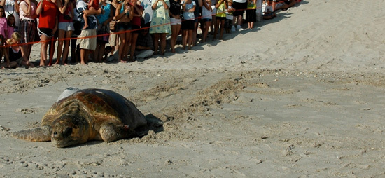 Tour de Turtles at Disney's Vero Beach Resort