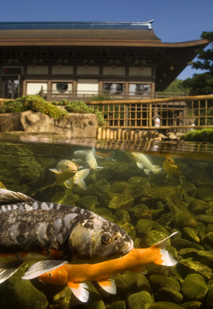 Koi pond at Epcots Japan Pavilion by Kent Phillips