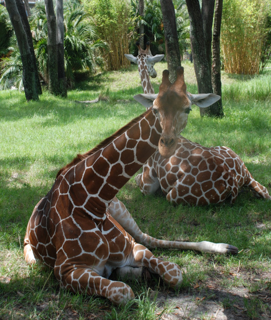 Two giraffes relax in the shade on Sunset Savanna.