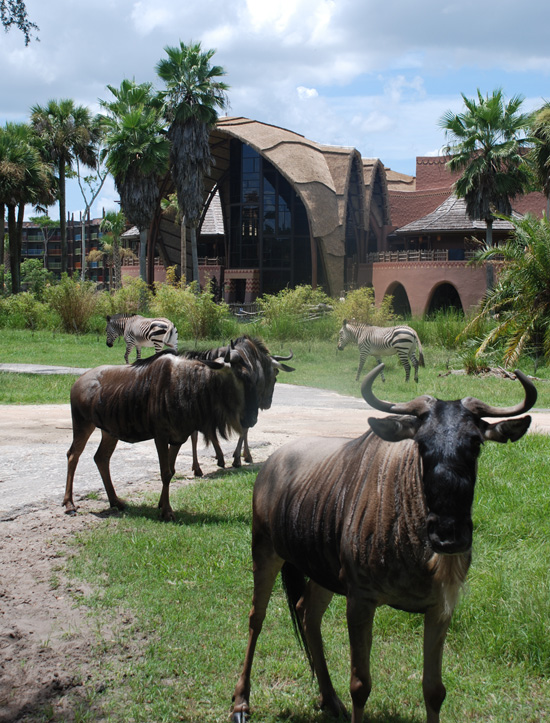 Wildebeests and zebra mill about.
