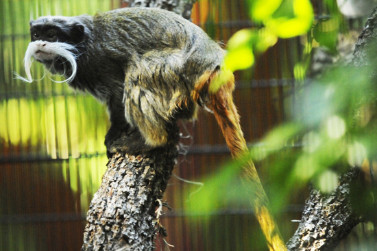 Emperor Tamarin at Rafiki's Planet Watch in Disney's Animal Kingdom