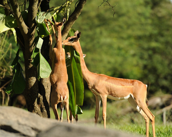 Gerenuk at Disney's Animal Kingdom