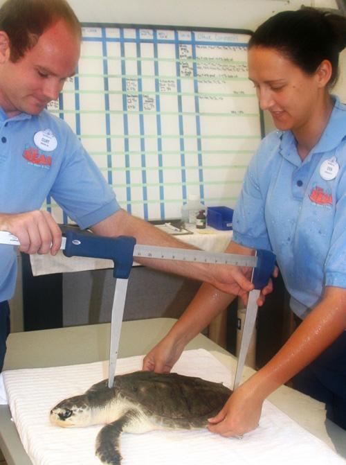 Disney's Animal Programs Cast Members Help Nurse Sea Turtles Back to Health