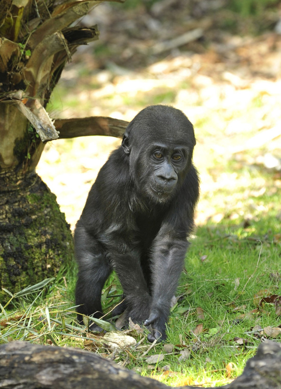 Lilly, an endangered western lowland gorilla born at Disney's Animal Kingdom