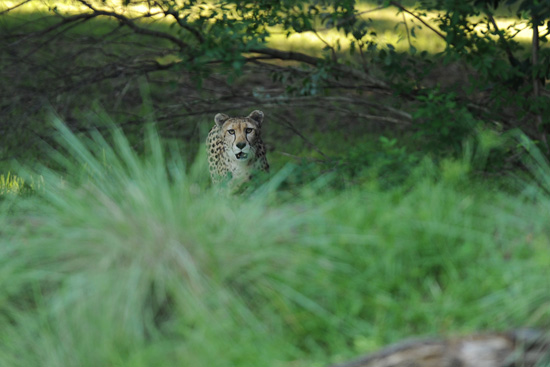 A Cheetah at Disney's Animal Kingdom