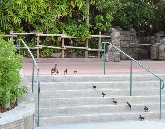 Ducks in a Row at Disney's Hollywood Studios