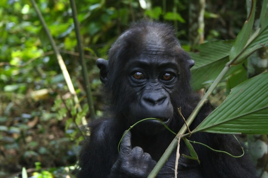 Wildlife Wednesdays: Protecting Wildlife and Nature in Africa: Gorillas