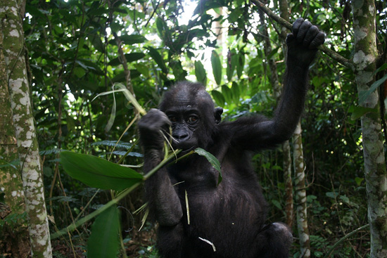 Gorilla at Disney's Animal Kingdom