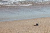 Sea Turtles at Disney's Vero Beach Resort
