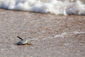Sea Turtles at Disney's Vero Beach Resort