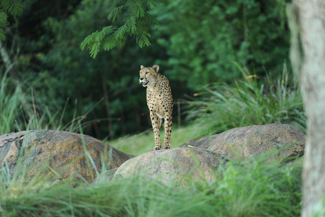 Cheetah at Disney's Animal Kingdom