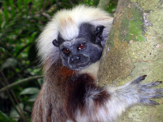 Wildlife Wednesdays: Do the Cotton-Top Tamarin Dance at Disney's Animal Kingdom