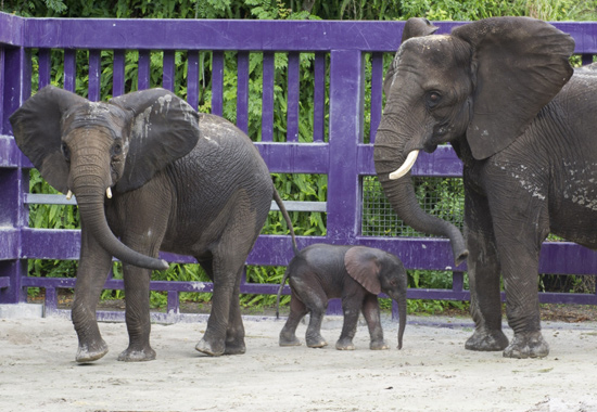 Baby Elephant Receives Warm Welcome at Disney's Animal Kingdom