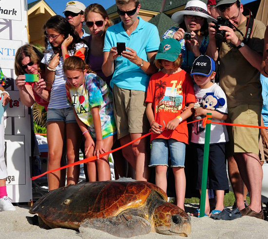 Wildlife Wednesdays: Sea Turtles Get Huge Send-off from Disneys Vero Beach Resort Guests