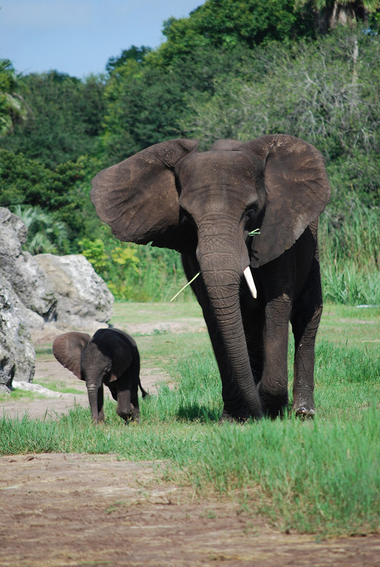 Baby Elephant Joins Herd on Savanna at Disney's Animal Kingdom