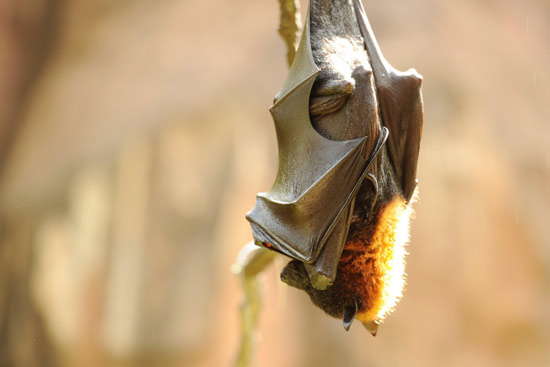 Wildlife Wednesdays: Disney's Animal Kingdom Goes to Bat for Bats on October 26