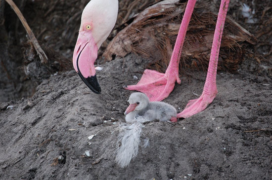 Flamingo Chick Hatched at Disney's Animal Kingdom