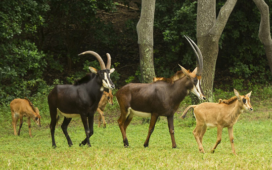 Sable Antelope Calves Join Savanna Herd at Disneys Animal Kingdom