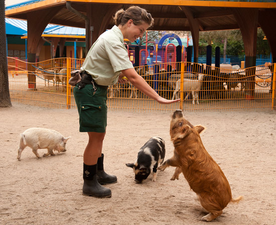 Kunekune Pigs at Disneys Animal Kingdom