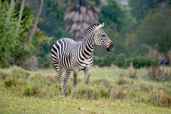 Kilimanjaro Safaris To Boost Zebra Presence, Add Savannah Space at Disneys Animal Kingdom