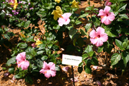 Tropical Hibiscus in the Creole Garden