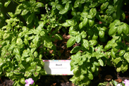 Basil in the Creole Garden