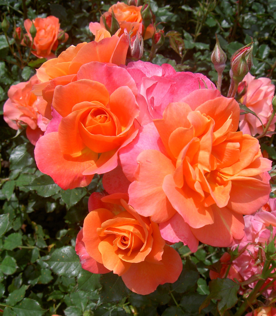In search of the disneyland rose disney parks blog for Multi colored rose bushes