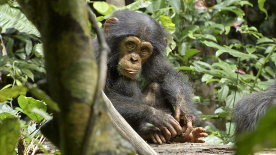 Wildlife Wednesdays: Party for the Planet – Including Chimpanzees – in Celebration of Earth Day at Disney's Animal Kingdom