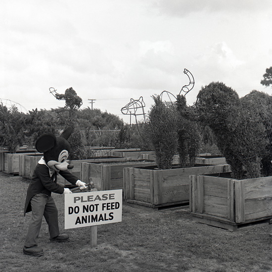 A 1971 Shot of Mickey With Some of Magic Kingdom Park's First Topiaries