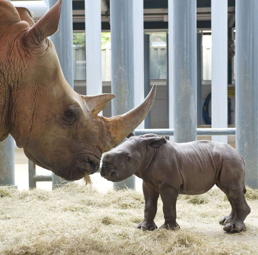 Rhino Mom Welcomes Newest Addition to Disney's Animal Kingdom Family