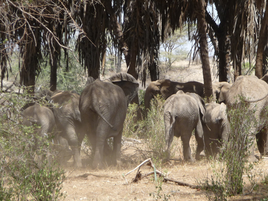 crop raiding in elephants the curbing of a conservation nightmare