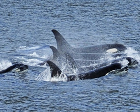 Whales Spotted from the Disney Wonder While Sailing in Alaska
