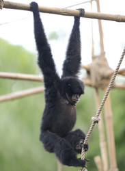 Disney's Animal Kingdom Celebrates Primates, Featuring the Siamang