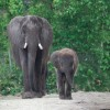 Elephants at Disney's Animal Kingdom at Walt Disney World Resort
