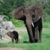 Elephants at Disney's Animal Kingdom at Walt Disney World Resort