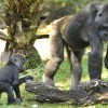 Gorillas at Disney's Animal Kingdom at Walt Disney World Resort