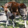 Okapi at Disney&#8217;s Animal Kingdom at Walt Disney World Resort