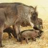 Hogs at Disney's Animal Kingdom at Walt Disney World Resort