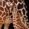 Baby Giraffe at Disney&#8217;s Animal Kingdom at Walt Disney World Resort
