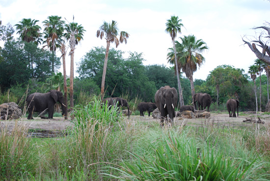 Elephant Herd at Disneys Animal Kingdom at Walt Disney World Resort
