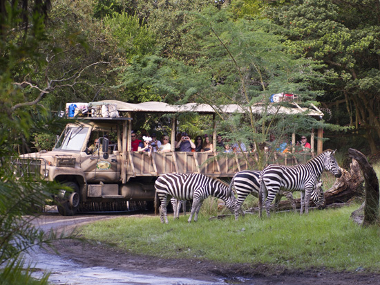 Zebras on the New Kilimanjaro Safaris Savanna at Disney's Animal Kingdom