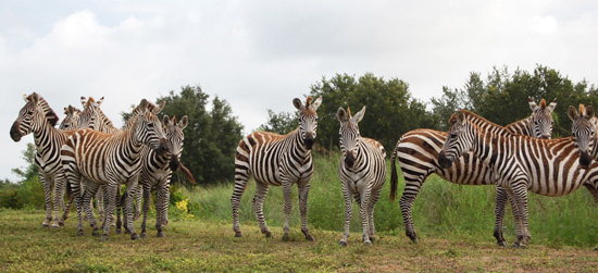 First Look: Plains Zebras Head to Kilimanjaro Safaris at Disney's Animal Kingdom